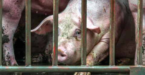Deutschland: 900 Schweine sterben über Nacht - der Grund ist grausam