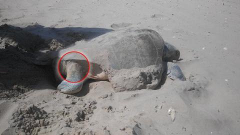 Ein Mann hilft einer verletzten Schildkröte beim Ablegen ihrer Eier