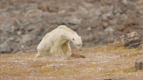 Das Video von diesem Eisbären ist das Traurigste, was ihr heute sehen werdet