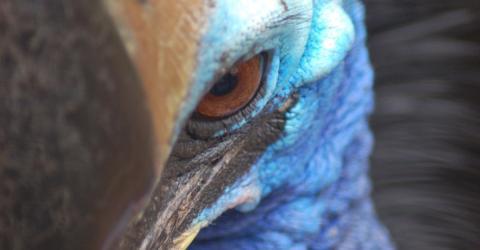 Helmkasuar: Der gefährlichste Vogel der Welt