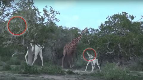 Förster entdecken in Kenia weiße Giraffen!