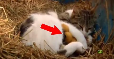 Katze adoptiert Entlein