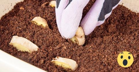 Ingwer selbst pflanzen: So bekommst du die gesunde Knolle!