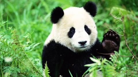Warum ist das Fell von Pandas schwarz-weiß?