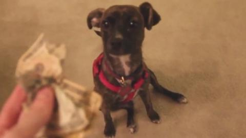 Dieser Hund weiß, dass er eine Dummheit gemacht hat. Aber was wird seine Reaktion sein?