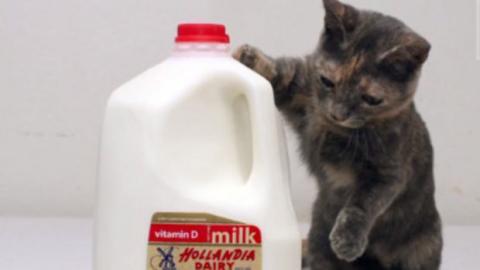 Diese Katze ist die kleinste der Welt. Sehen Sie sich dieses süße Fellknäuel an.