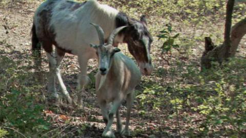 Dieses blinde Pferd sollte eingeschläfert werden... bis es der Ziege Jack begegnete. Nun sind die beiden unzertrennlich!