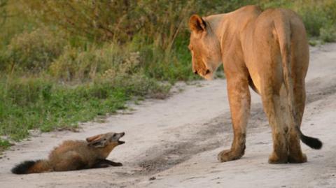 Die Löwin entdeckt den verletzten Fuchs. Als sie sich ihm nähert, passiert etwas wirklich Außergewöhnliches!