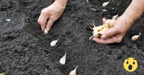 Knoblauch selbst anbauen: So einfach geht's!