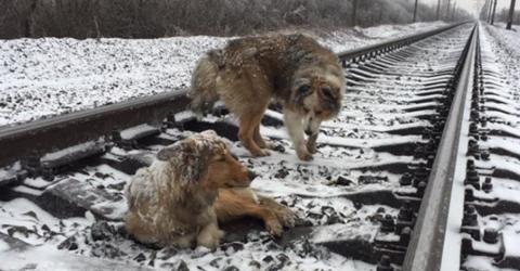 Dieser Hund beschützt seine Freundin eisern. Auch vor dem herannahenden Zug