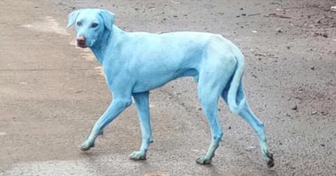 Blaue Hunde in Indien: Das Grund für die ungewöhnliche Farbe ist schockierend
