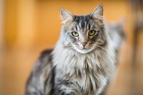 Schnurrtherapie: Das hast du über die Maine-Coon-Katze noch nicht gewusst!
