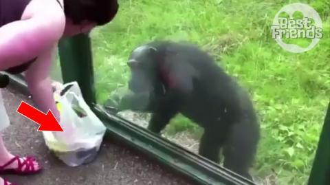 Dieser Affe hat sehr wohl verstanden, was von den beiden Sachen die Banane ist!