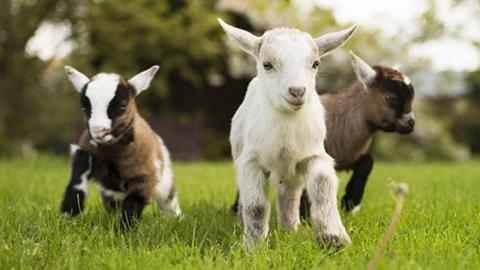 Drei gute Gründe, warum du eine Ziege adoptieren solltest