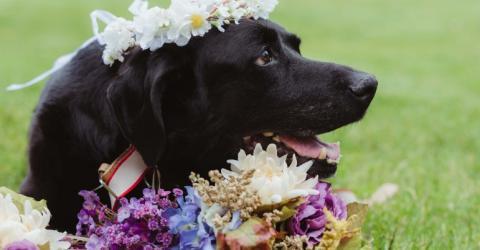 Labrador Charlie bereitet seiner Familie ein ganz besonderes Hochzeitsgeschenk