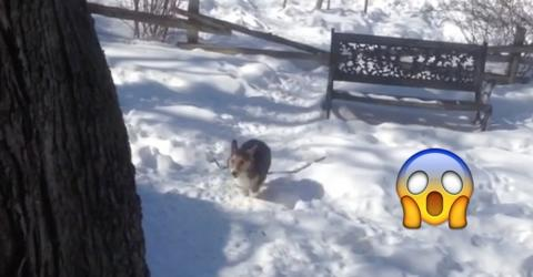 Dieser Corgi ist ganz verrückt nach Schnee. Wie er gleich abgeht, das habt ihr noch nicht gesehen!