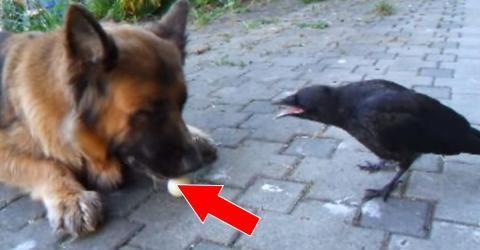 Der Hund hat der Krähe etwas geklaut, was sie unbedingt zurück haben will!