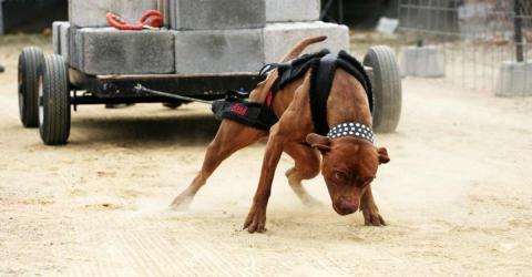 Hunde in Mexiko müssen tonnenschweren Beton ziehen - für das Ego ihrer Herrchen