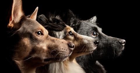 Diese Hunderasse stirbt bald aus: Und wir sind schuld