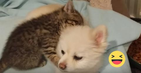 Spitz spielt geduldig mit Kätzchen!