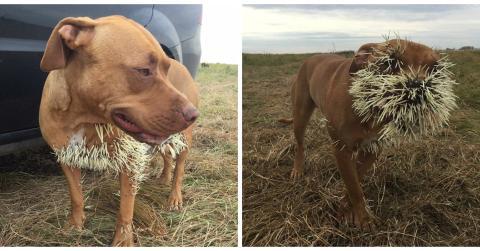 Hunde legen sich mit einem Stachelschwein an und brauchen tierärztliche Behandlung