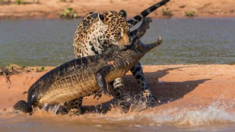 Ein unglaubliches Schauspiel der Natur in Brasilien: Angriff eines Jaguars auf einen Kaiman