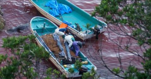 """""""Blutbucht"""" in Japan: Tierschützer decken grausame Tradition auf"""