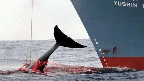 Walfang in Japan: Das Töten unter wissenschaftlichem Vorwand geht weiter