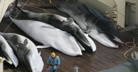 Schwangere Wale: Japans Vorgehen verschlägt nun allen die Sprache!