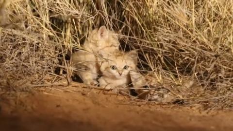 Wissenschaftler bekamen jetzt drei seltene Sandkätzchen vor die Kamera