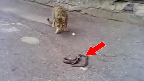 Eindrucksvoller Kampf einer Katze gegen eine Schlange