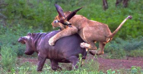 Die Löwin attackiert das Nilpferd-Baby. Doch mit dessen Mama hat sie nicht gerechnet