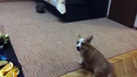 Der Corgi trifft zum ersten Mal auf ein Kaninchen. Seine Reaktion rührt zu Tränen