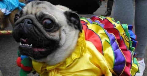 Karneval: Haustiere gehören nicht in ein Kostüm