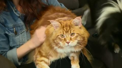 Das ist Omar, der neue Herausforderer für den Titel der größten Katze der Welt!