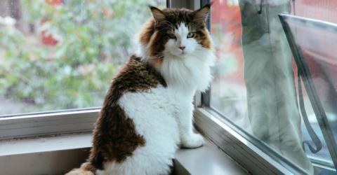 Samson ist die wohl größte Katze in New York