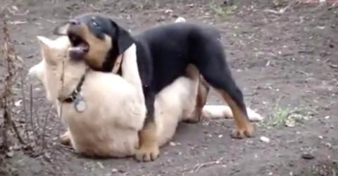 Rottweiler-Welpe erkundet zum ersten Mal den Garten: Die Katze stürzt sich auf ihn