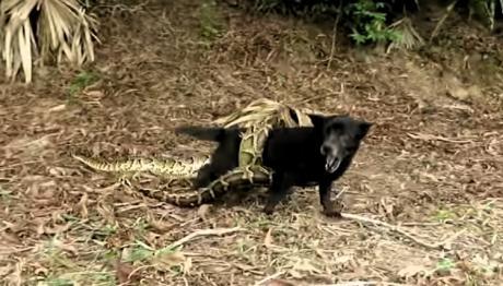 Ihr Hund wird von einer Python umklammert - die Kinder zögern keine Sekunde