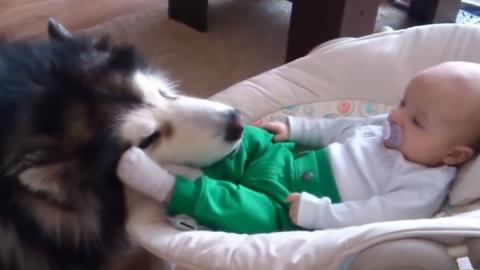 Ein Alaskan Malamute passt auf ein Baby auf