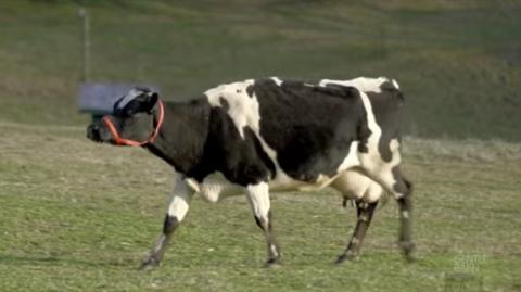 Diese Kuh rief Tag und Nacht klagend nach ihrem Kälbchen