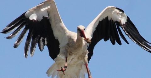 Fernbeziehung: Jedes Jahr reist dieser Storch tausende Kilometer für seine verletzte Freundin