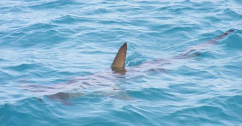 Neuer Hai entdeckt: Forscher entsetzt, als sie den Kopf sehen