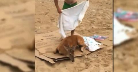 Sie retten den Hirsch vorm Ertrinken. Am Strand angelangt, passiert das Unglaubliche