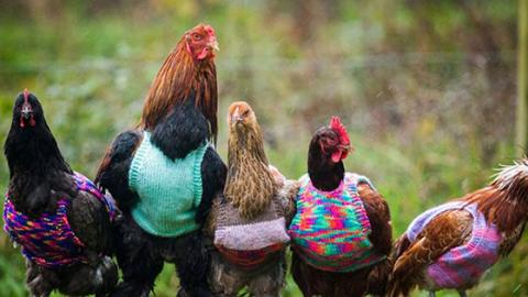 Nicola Congdon: Engländerin macht Hühner-Mode