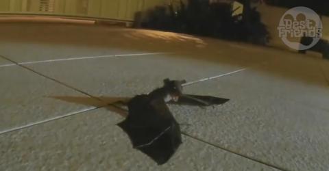 Das Fledermaus-Baby hat sich verflogen und ruft nach seiner Mama