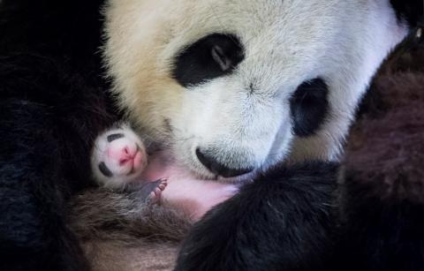 Nach 4 Monaten hat das kleine Panda-Baby endlich einen neuen Namen