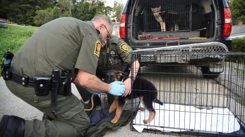 USA: Illegale Zucht von Wolfshunden