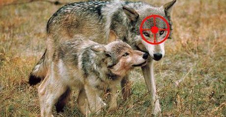 """Wölfe in Niedersachsen: Landesregierung will """"Problemrudel"""" jagen"""