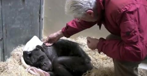 Sterbende Schimpansin im Zoo von Arnheim: Ein Video erobert die Herzen