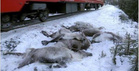 Menschliches Versagen: In Norwegen sind mehr als hundert Rentiere gestorben